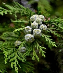 Cypress & Berries